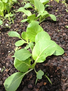Baby Bok Choy - I don't mind the cold weather!