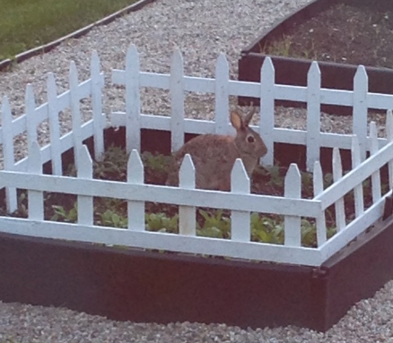 Naughty Peter Rabbit! Willing to jump a fence for baby kale.  Now I know why Mr MacGregor was so mean.