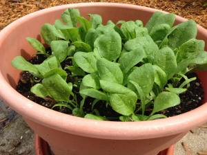 We grow spinach in a big pot!  Spinach is in the pasta salad recipe.