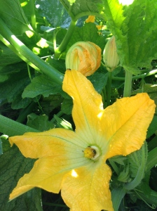 More blossoms, More zucchini!