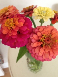 Multi-Hued Zinnias from Our Garden