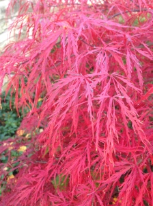 Ultra Red Dwarf Japanese Maple