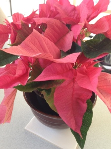 This year I am all about the pink poinsettia.  I hope it survives the drafty house!