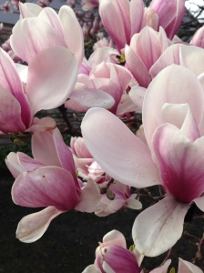 Our tulip tree