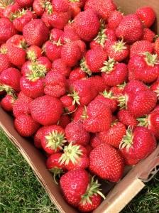 We picked strawberries!