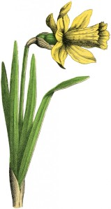 Vintage-Daffodil-Picture-GraphicsFairy-543x1024